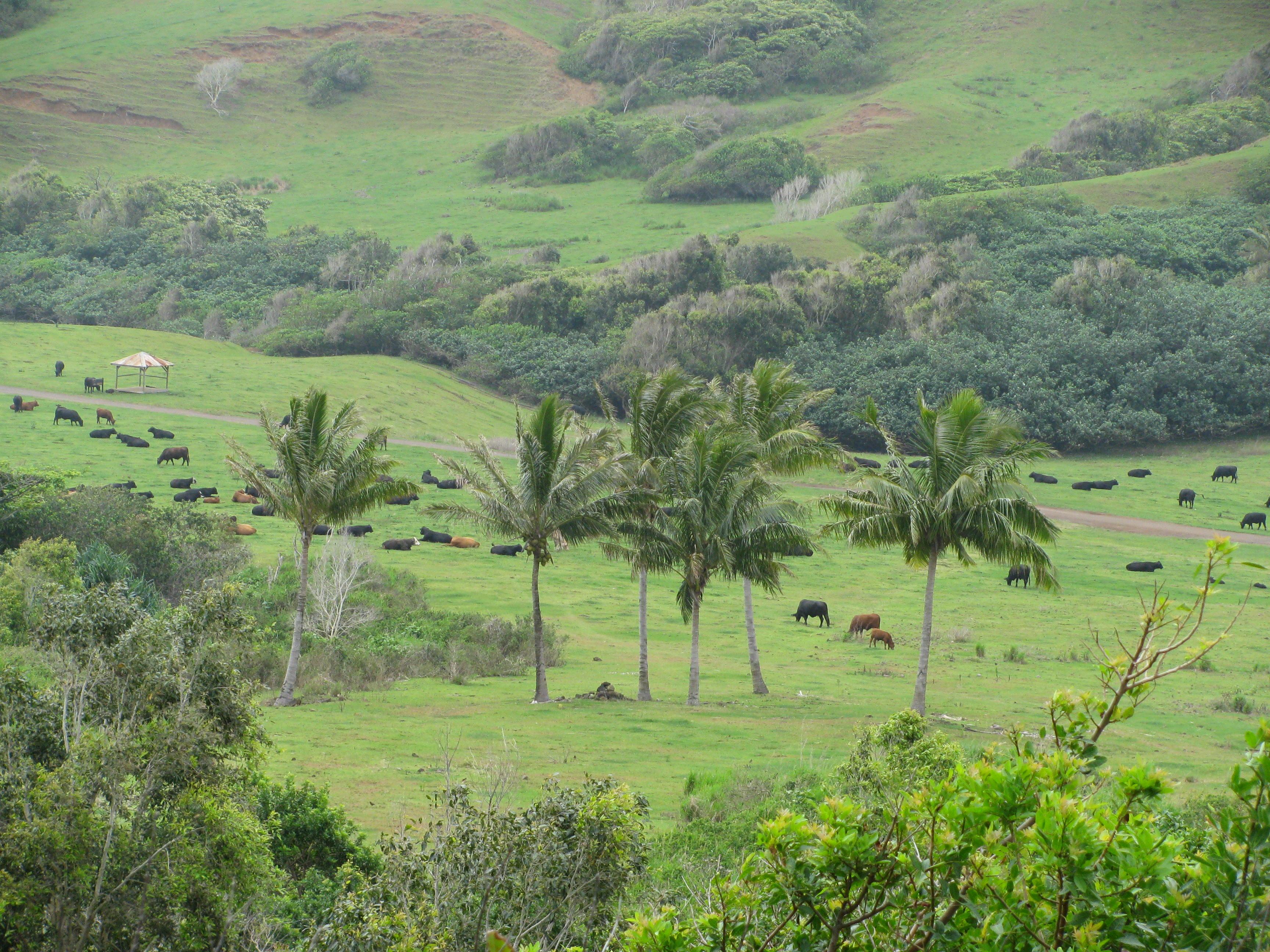 Kualoa Ranch, A Working Cattle Ranch